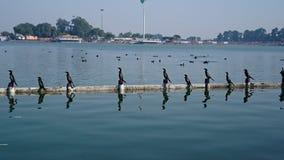 cormorant стоковые фото