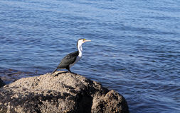 Cormorant Stock Photos