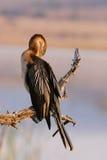 cormorant royaltyfria bilder