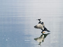 Cormorant Photos stock