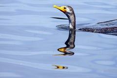 Cormorant Royalty Free Stock Photography
