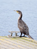 Cormorant Royalty Free Stock Photography