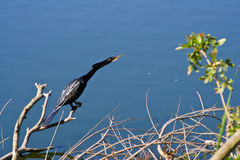 Cormorant bird on branch. A cormorant bird on a branch, detecting something of interest and getting a closer look Stock Image