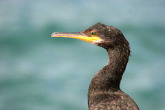 Cormorant 2. Portrait of a cormorant Royalty Free Stock Image
