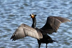 Cormorant Stock Photo