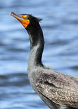 Cormorant fotos de stock royalty free