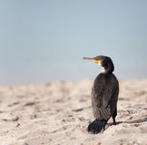 Cormorant Royalty Free Stock Images