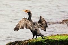 Cormorant Fotografie Stock Libere da Diritti