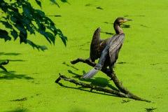 Cormorant Immagine Stock