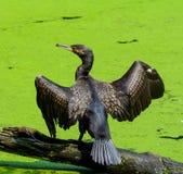 Cormorant Immagine Stock Libera da Diritti