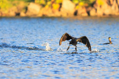 Cormorant Fotografia Stock