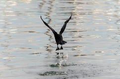 Cormorant Immagini Stock Libere da Diritti