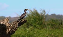 cormorant Стоковое Изображение