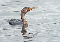 Cormorant Fotografia de Stock