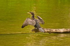Cormorant Royalty Free Stock Image