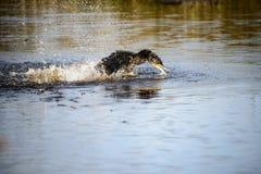 cormorant Arkivbilder