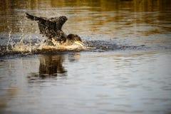 cormorant Royaltyfri Foto