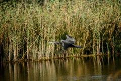 cormorant Fotografering för Bildbyråer