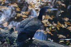 cormorant Стоковое Изображение RF