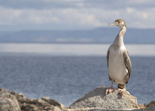 Cormorant. In Stintino, Sardinia, Italy stock photography