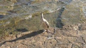 cormorant акции видеоматериалы