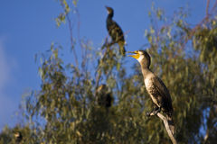 Cormorant. On a dry branch Stock Image