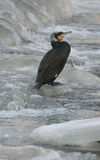Cormorant. On the river in winter Double-crested , Phalacrocorax auritus Royalty Free Stock Image