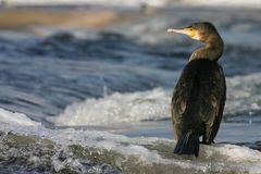 Cormorant. On the river in winter Double-crested , Phalacrocorax auritus Royalty Free Stock Photography