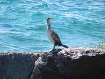 cormorant Стоковые Изображения