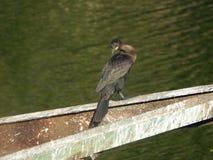 Cormorant 6 Fotografie Stock Libere da Diritti