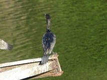 Cormorant 7 Fotografie Stock Libere da Diritti