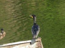 Cormorant 8 Fotografie Stock