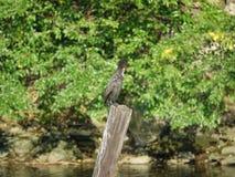 Cormorant 9 Fotografia Stock Libera da Diritti