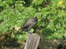 Cormorant 10 Images stock