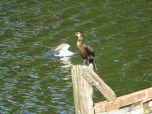 Cormorant 12 Fotografia Stock Libera da Diritti