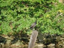 Cormorant 13 Fotografie Stock Libere da Diritti
