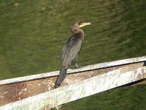 Cormorant 14 Immagini Stock Libere da Diritti