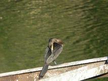 Cormorant 15 Fotografia Stock