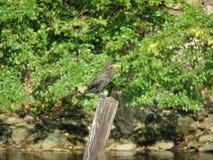 Cormorant 18 Fotografia Stock Libera da Diritti