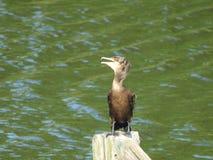Cormorant 19 Fotografia Stock