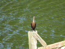Cormorant 20 Photos stock