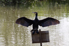 Cormorant Imagem de Stock Royalty Free