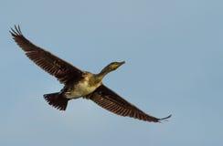 Cormorant Immagini Stock