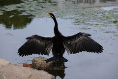cormorant Royaltyfri Bild