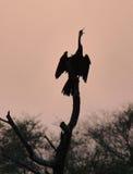 cormorant Royaltyfria Foton