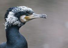 Cormorant Fotografia de Stock Royalty Free