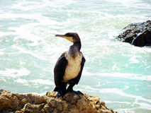 Cormorant Photo stock