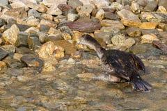 Cormorant Image libre de droits