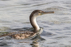 Cormorant Photo stock