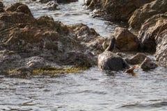 Cormorant Photographie stock libre de droits